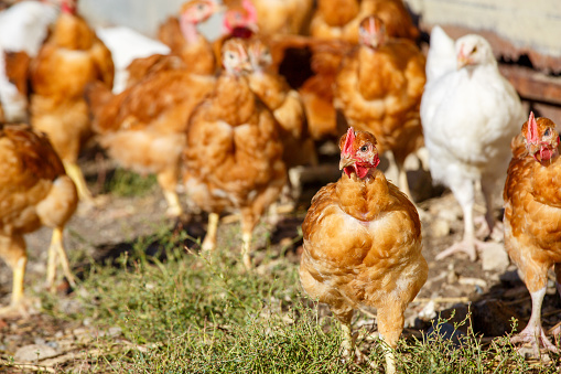 chickens roam freely in a lush green paddock 623453862