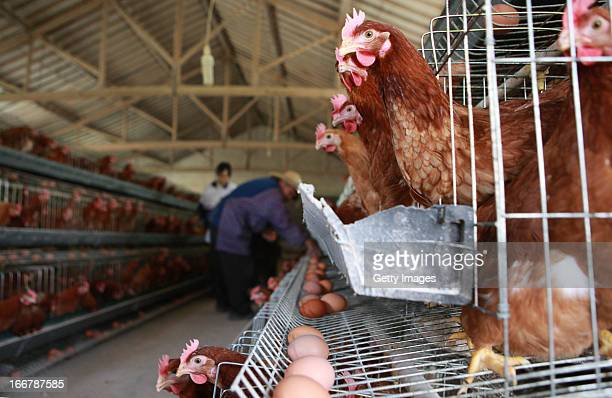 Chickens roost at a poultry farm on April 17 2013 in Taizhou China China has reported 77 cases of H7N9 avian influenza including 16 deaths and the...