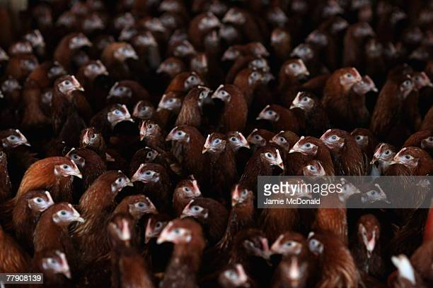 Chickens roost indoors on a Suffolk Farm on November 14 2007 in Stradbroke England A confirmed outbreak of the H5N1 strain of bird flu has been found...