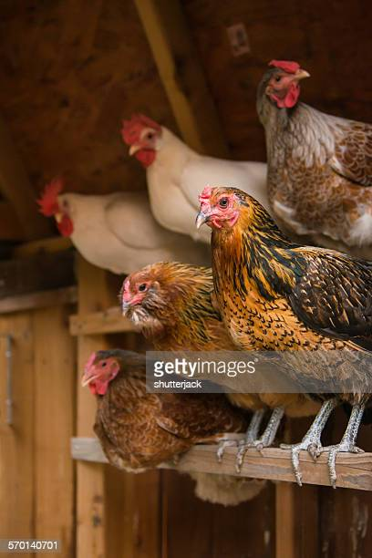 chickens roosting in a coop for the night - perching stock pictures, royalty-free photos & images