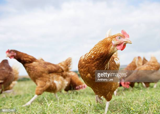 Chickens running in field