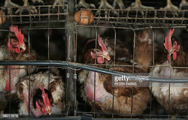 Chickens sit in cages at a farm on the outskirts of Huhhot the capital of China's Inner Mongolia region 26 October 2005 The sale of live chickens has...