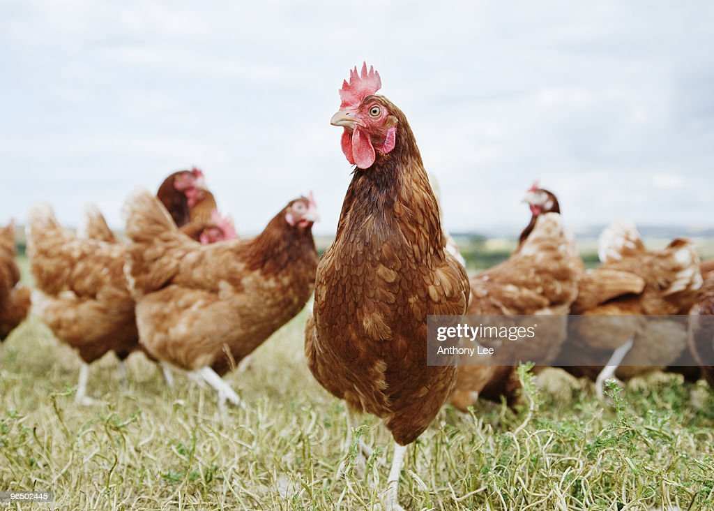 Chickens standing in field : Stock Photo