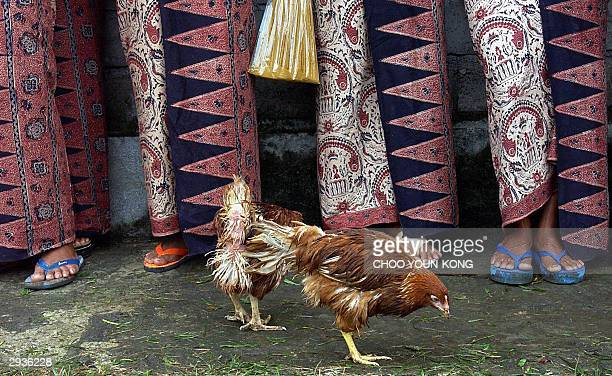Chickens walks around in front of women in traditional Indonesian dress at Bolangan village before being burned to cut the spread of bird flu, near a...