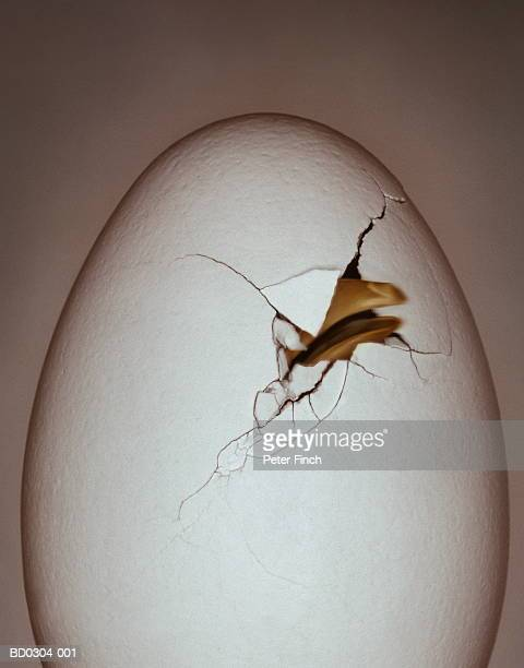 chick's beak breaking through eggshell (digital enhancement) - snavel stockfoto's en -beelden