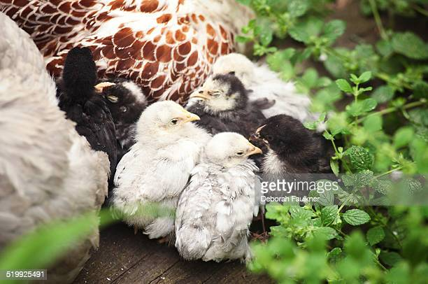 Chicks cuddled up to mother hen