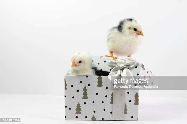 chicks in a gift box - funny rooster stock photos and pictures