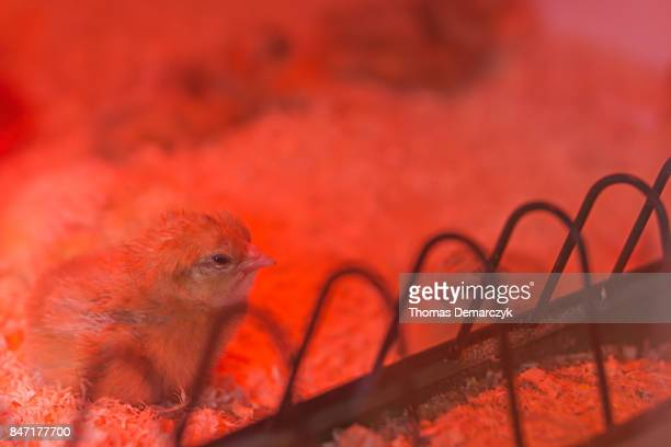 chicks - infrared lamp stock photos and pictures