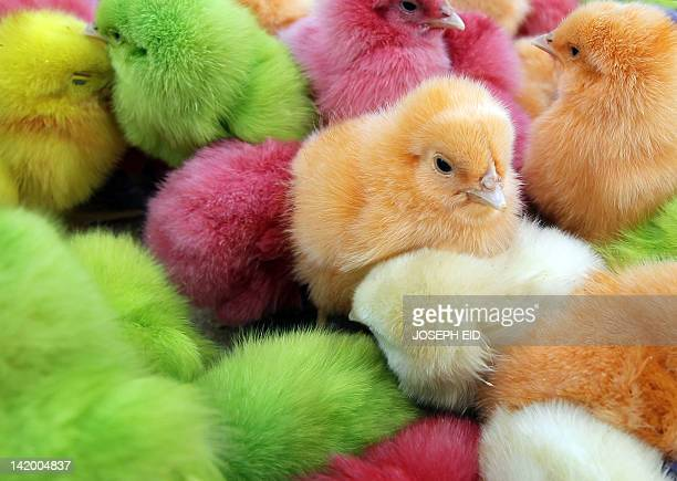 Chicks that are dyed with artificial colours are sold at a street market in Beirut on March 28 to celebrate the Christian occasion of Easter Lebanese...