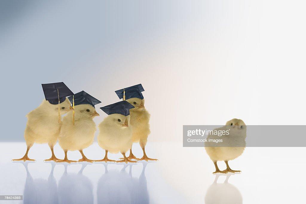 Chicks wearing graduation caps : Stock Photo