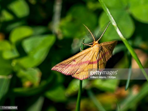 chickweed geometer - geometridae stock photos and pictures