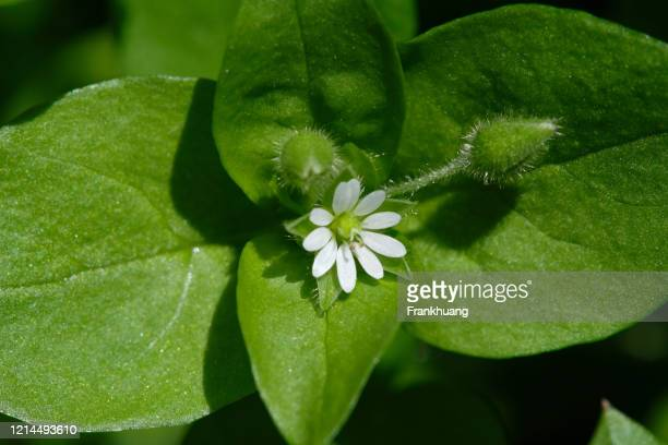 chickweed natural background