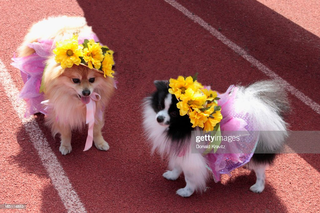 Chico and Pepe, both Pomeranians, with their bonnets attend the Woofin Paws pet fashion show at Carey Field on March 30, 2013 in Ocean City, New Jersey.