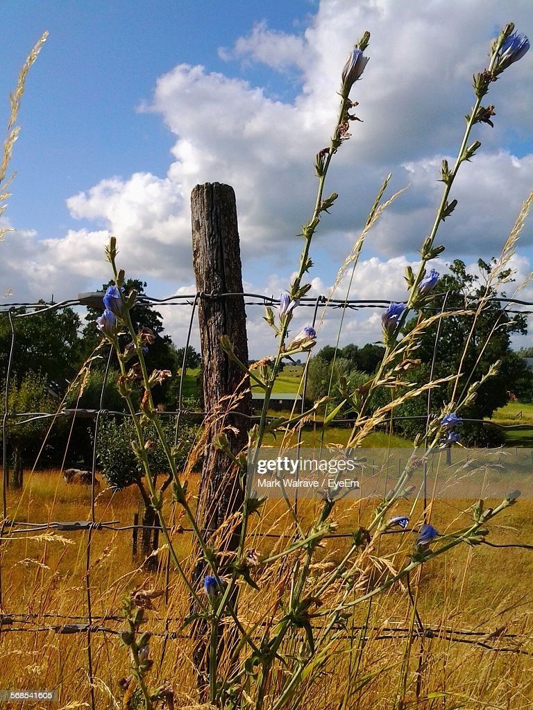Chicory Blooming By Fence On Field : Stock Photo