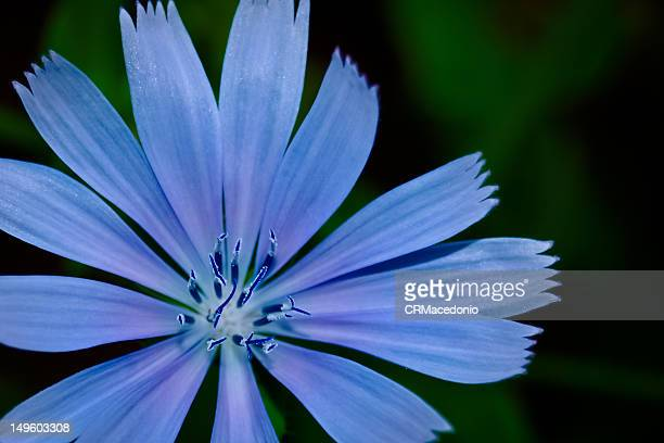 chicory flower - crmacedonio stock pictures, royalty-free photos & images