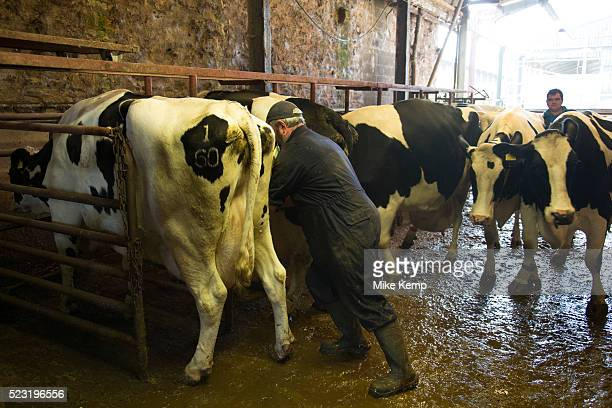 Chief herdsman Ken Pilkington with cows awaiting the weekly vets visit Keeping a healthy herd as well as trying to ensure that each cow has one calf...