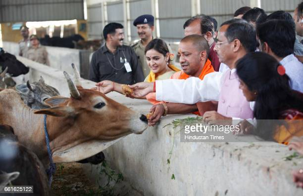Chief Minister of Uttar Pradesh Yogi Adityanath feeding cows along with Mulayam Singh Yadav's daughter-in-law Aparna Yadav and Deputy CM of UP Dr....