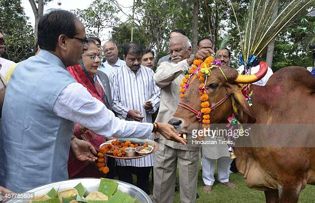 Chief minister Shivraj Singh Chouhan along with his wife offering food to a cow as part of Govardhan puja at CM house on October 24 2014 in Bhopal...
