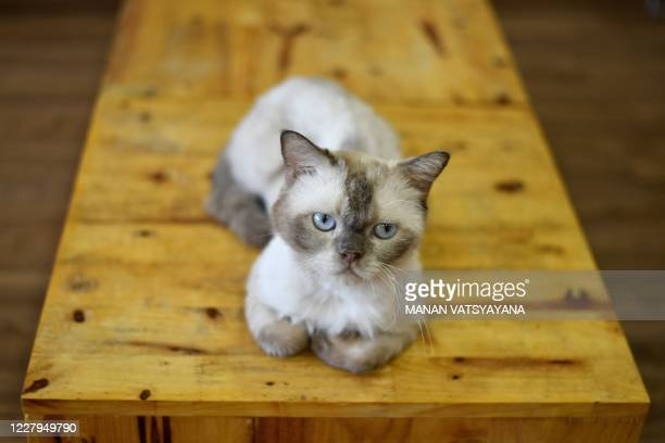 Chien, a British shorthair cat sits atop a table at Ngao's Home, a one of its kind cafe and cat rescue place in Hanoi on August 7 ahead of the...