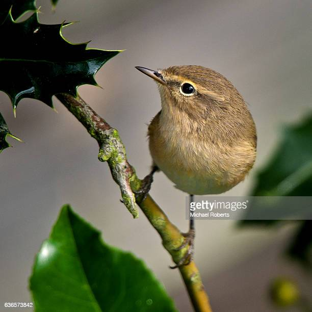 chiffchaff on holly - michael holly stock pictures, royalty-free photos & images