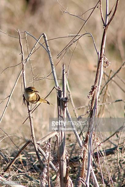 chiffchaff - iñaki respaldiza stock pictures, royalty-free photos & images