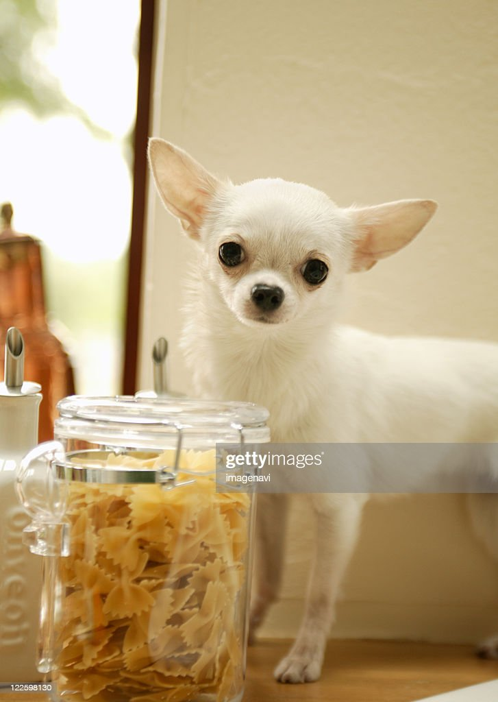Chihuahua and pasta canister : Stock Photo