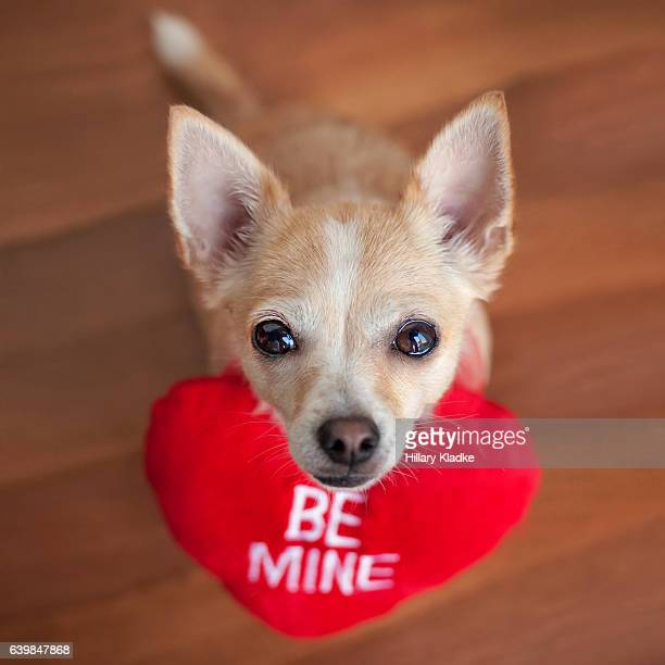 Chihuahua asking 'Be Mine'