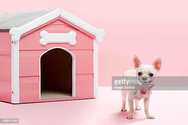 Chihuahua by kennel