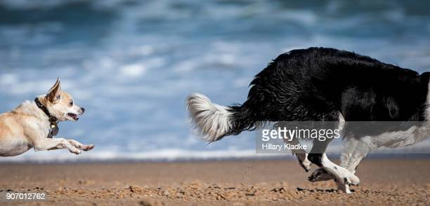 chihuahua chasing after border collie - chasing stock pictures, royalty-free photos & images
