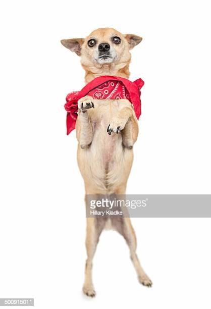 Chihuahua dancing