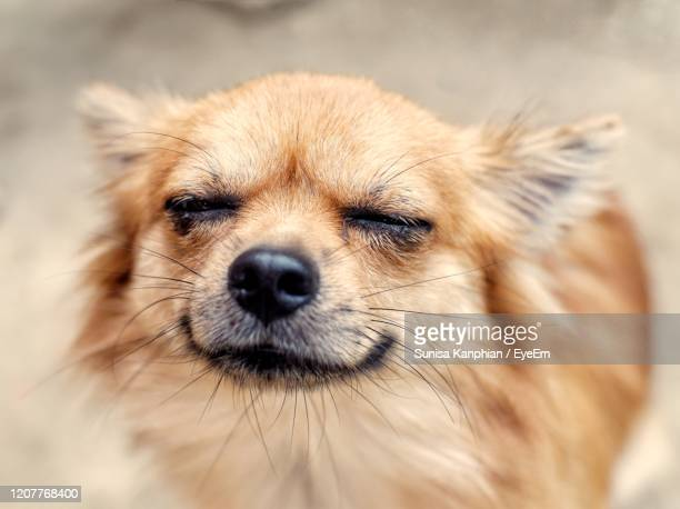 chihuahua dog close its eyes - purebred dog stock pictures, royalty-free photos & images