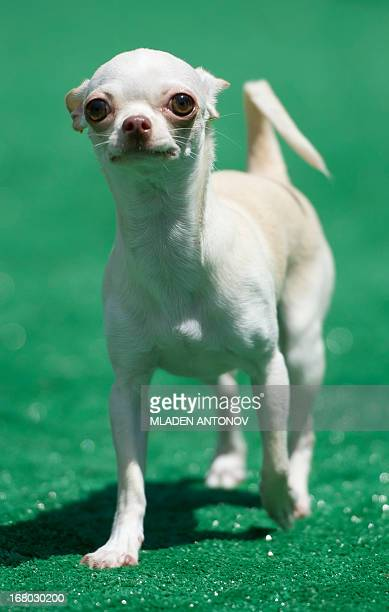 A Chihuahua dog competes in the 'Run of the Chihuahuas' annual race in Washington on May 4 2013 The annual Chihuahua race marks the Mexican holiday...