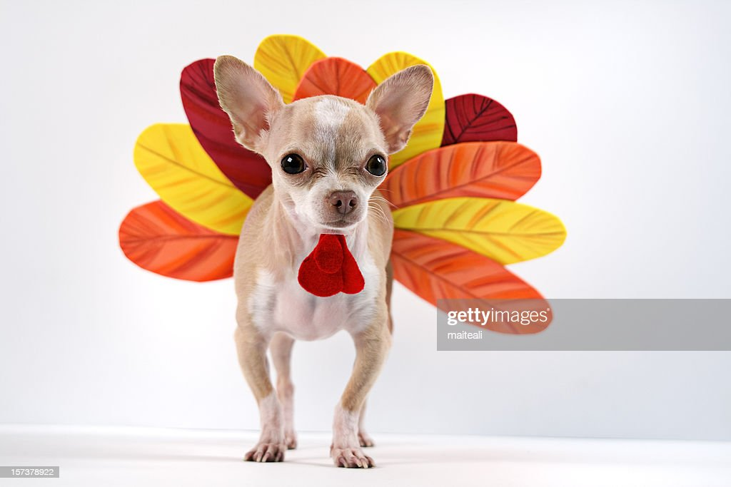 Chihuahua dog dressed up as a turkey : Stock Photo
