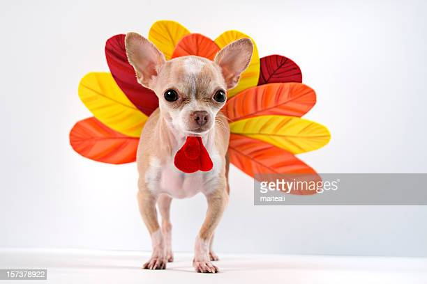 chihuahua dog dressed up as a turkey - funny turkey images stock photos and pictures