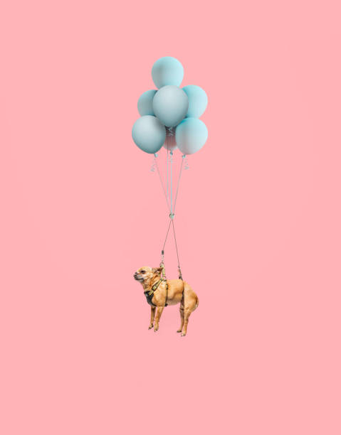 Chihuahua dog floating with balloons