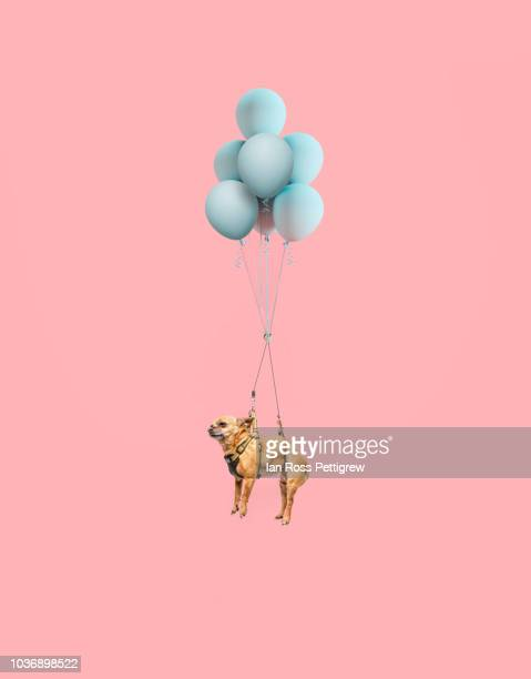 chihuahua dog floating with balloons - man made object stock pictures, royalty-free photos & images