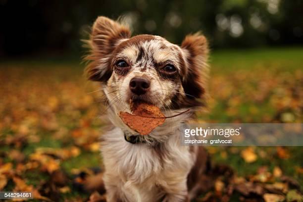 Chihuahua dog holding a leaf