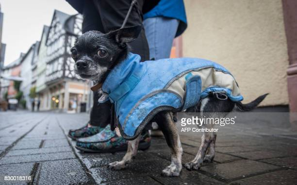 Chihuahua dog Idas wears a coat to protect against the rain on August 11 2017 in Wetzlar western Germany / AFP PHOTO / dpa / Frank Rumpenhorst /...