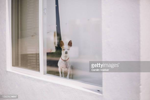 chihuahua dog looking at the camera through a window of a house - guarding stock pictures, royalty-free photos & images