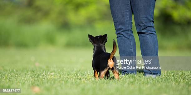 Chihuahua Dog Looking up at Person