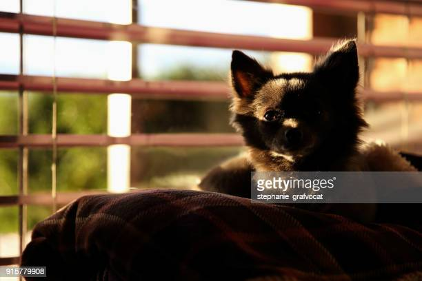 Chihuahua dog lying on a couch by a window
