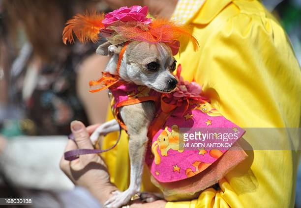 A Chihuahua dog owner presents her dressed up pet during the 'Run of the Chihuahuas' annual race in Washington on May 4 2013 The annual Chihuahua...