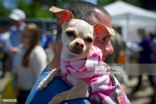 A Chihuahua dog owner presents his dressed up pet during the 'Run of the Chihuahuas' annual race in Washington on May 4 2013 The annual Chihuahua...