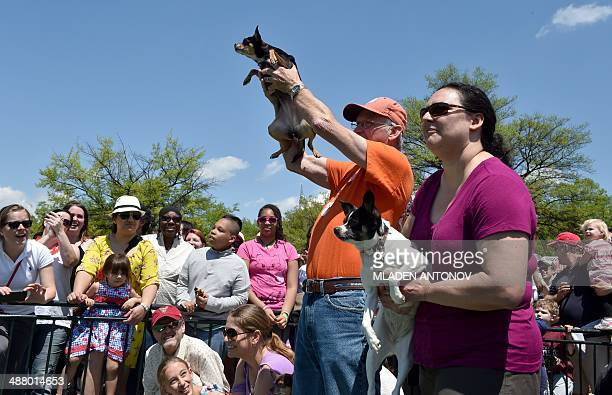 A Chihuahua dog owner presents his pet during the 'Run of the Chihuahuas' annual race in Washington on May 3 2014 The annual Chihuahua race marks the...