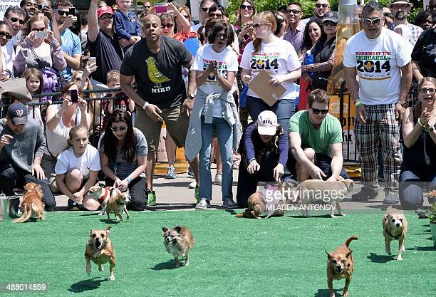 Chihuahua dog owners release their pets to compete in the 'Run of the Chihuahuas' annual race in Washington on May 3 2014 The annual Chihuahua race...