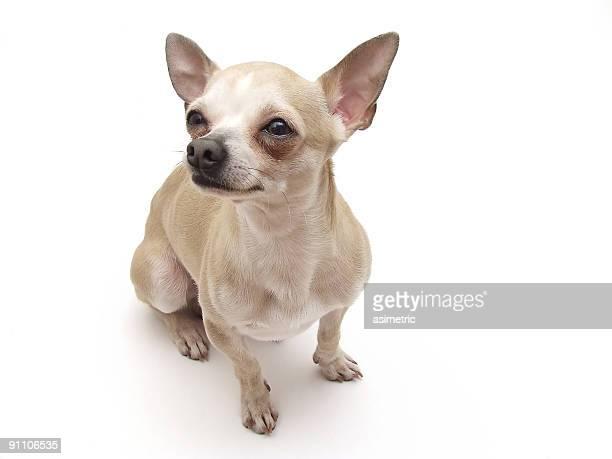 cachorro chihuahua - suspeita - fotografias e filmes do acervo