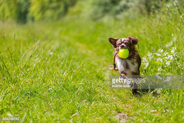 chihuahua dog playing with a ball - long haired chihuahua stock photos and pictures