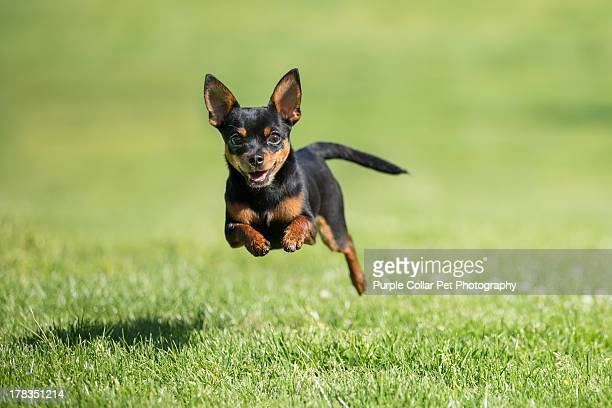 Chihuahua dog running across grass