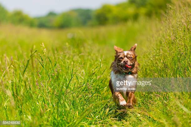 chihuahua dog running in high grass - long haired chihuahua stock photos and pictures