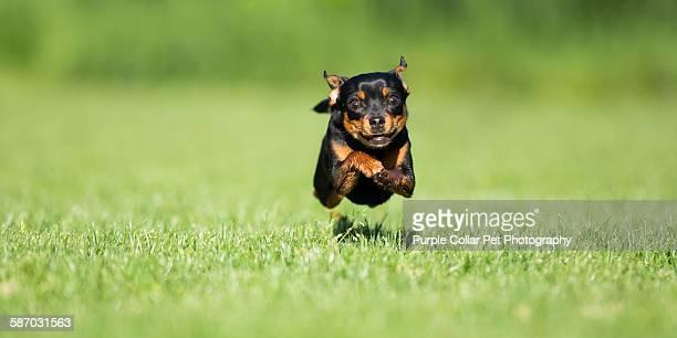 Chihuahua Dog Running Outdoors